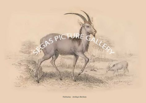Fine art print of the Takhaitze - Antilope Barbata by Sir William Jardine(1835)